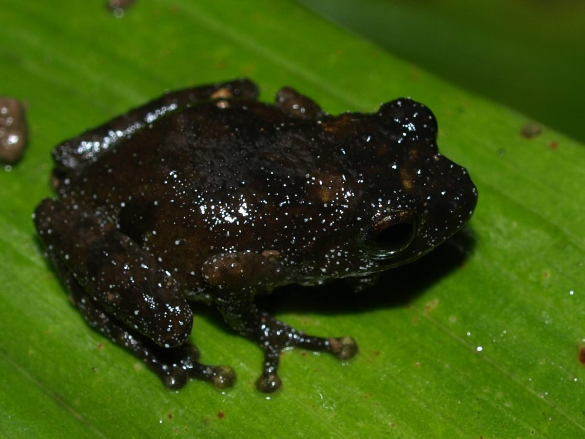Philautus menglaensis