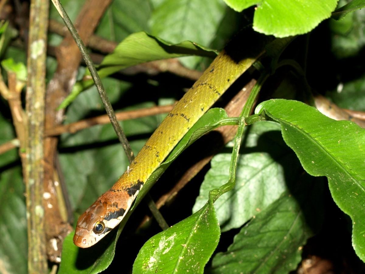 Rhabdophis nigrocinctus
