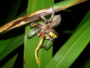 Dendropsophus ebraccatus being eaten by spider