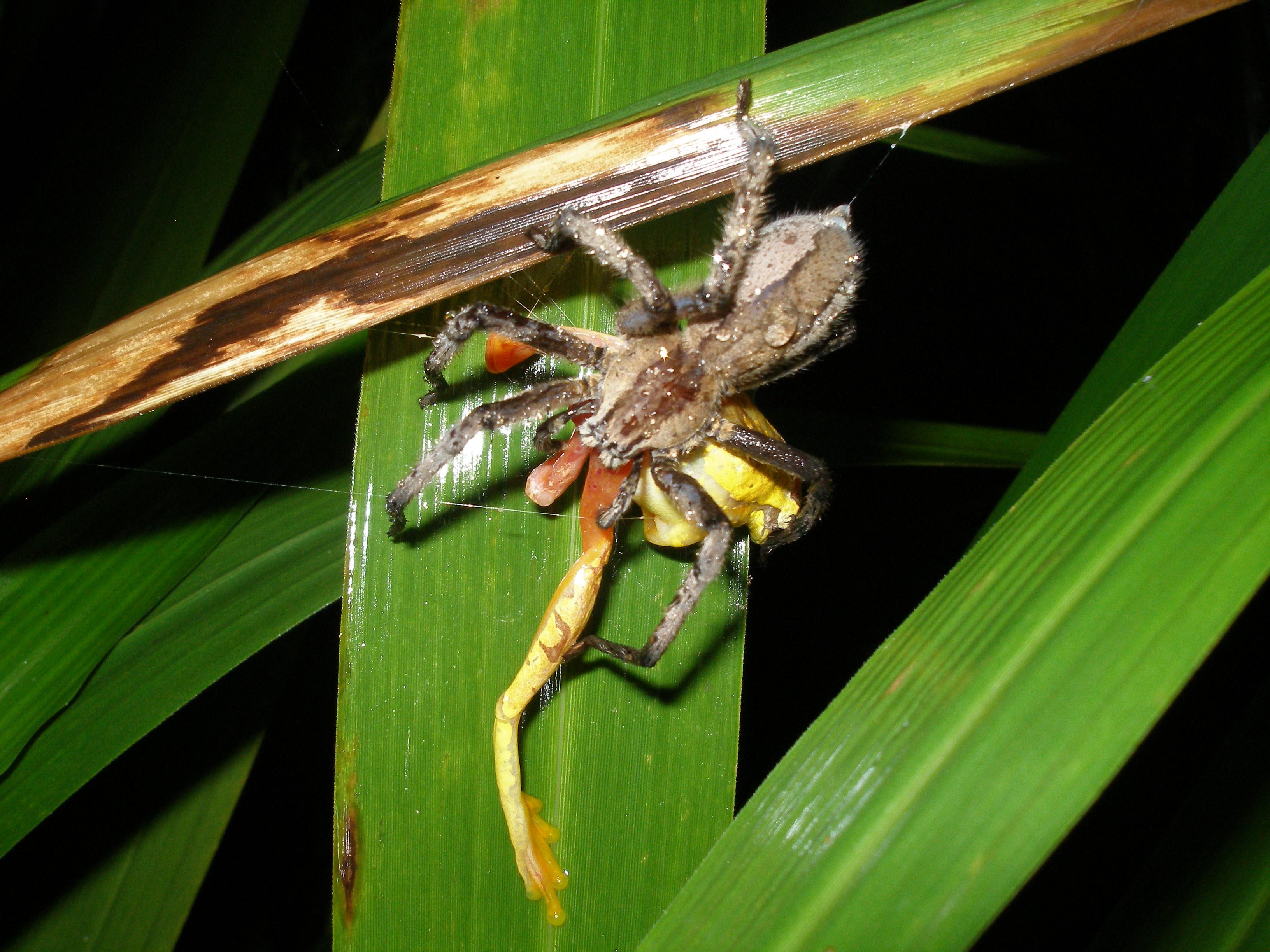 Dendropsophus ebraccatus being eaten by spider