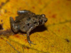 Stumpffia sp. on Nosy Mangabe