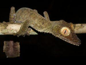 Uroplatus fimbriatus on Nosy Mangabe