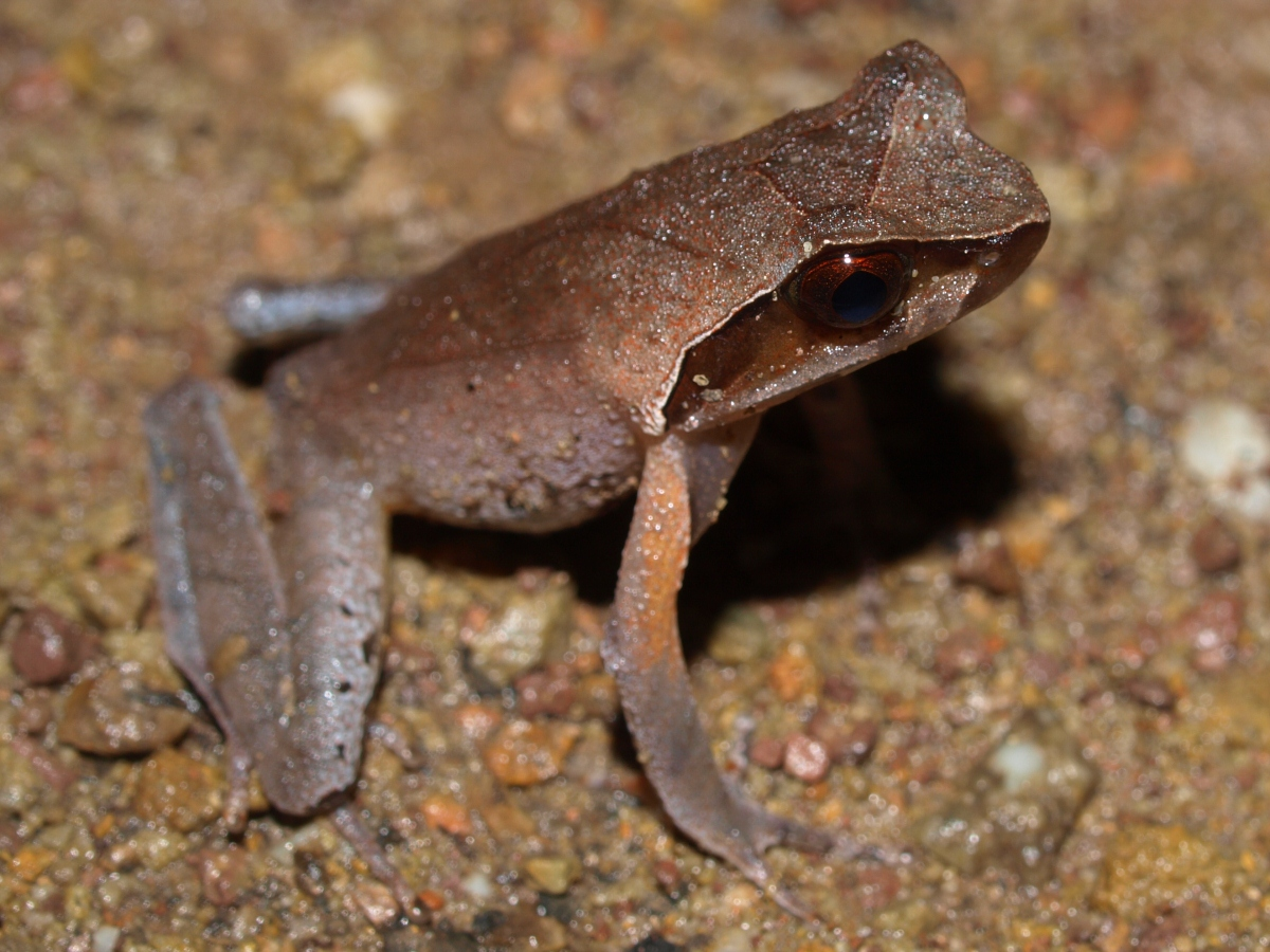 Xenophrys sp