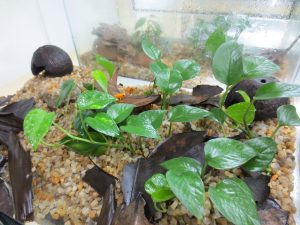 Mantella aurantiaca terrarium