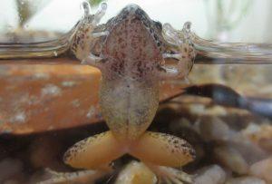 Mantidactylus betsileanus