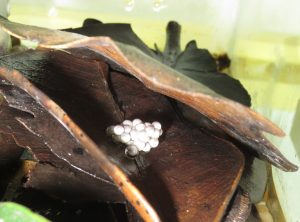 Mantidactylus betsileanus eggs