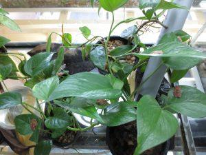 Boophis pyrrhus terrarium