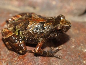 Anodonthyla vallani at Ambohitantely reserve.