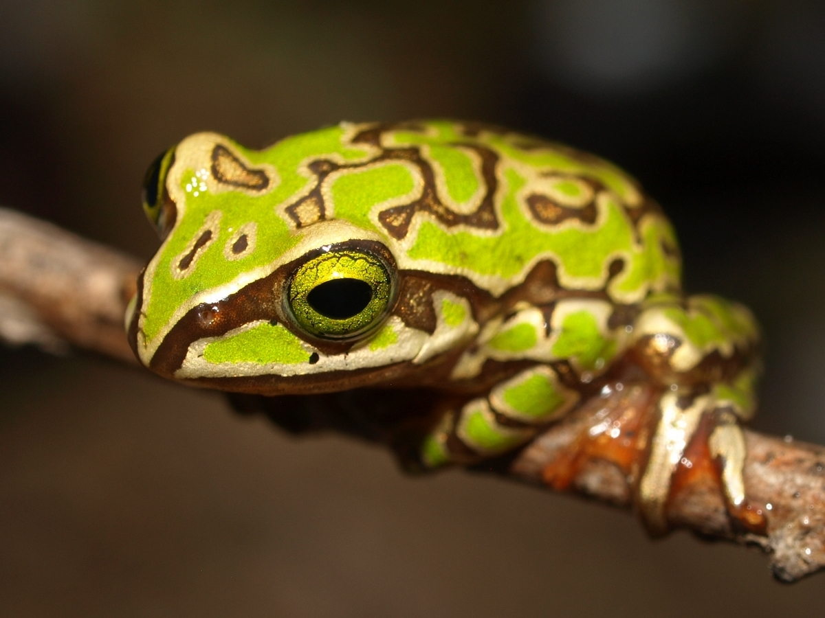Boophis microtympanum » Amphibian Care
