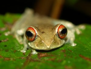 Boophis rufioculus