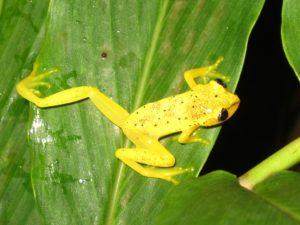 Heterixalus punctatus
