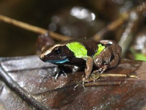 Mantella pulchra at Vohimana