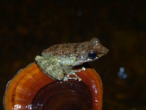 Mantidactylus sp.