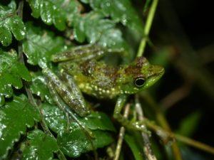 Mantidactylus argenteus
