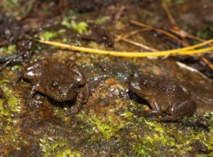 Mantidactylus pauliani