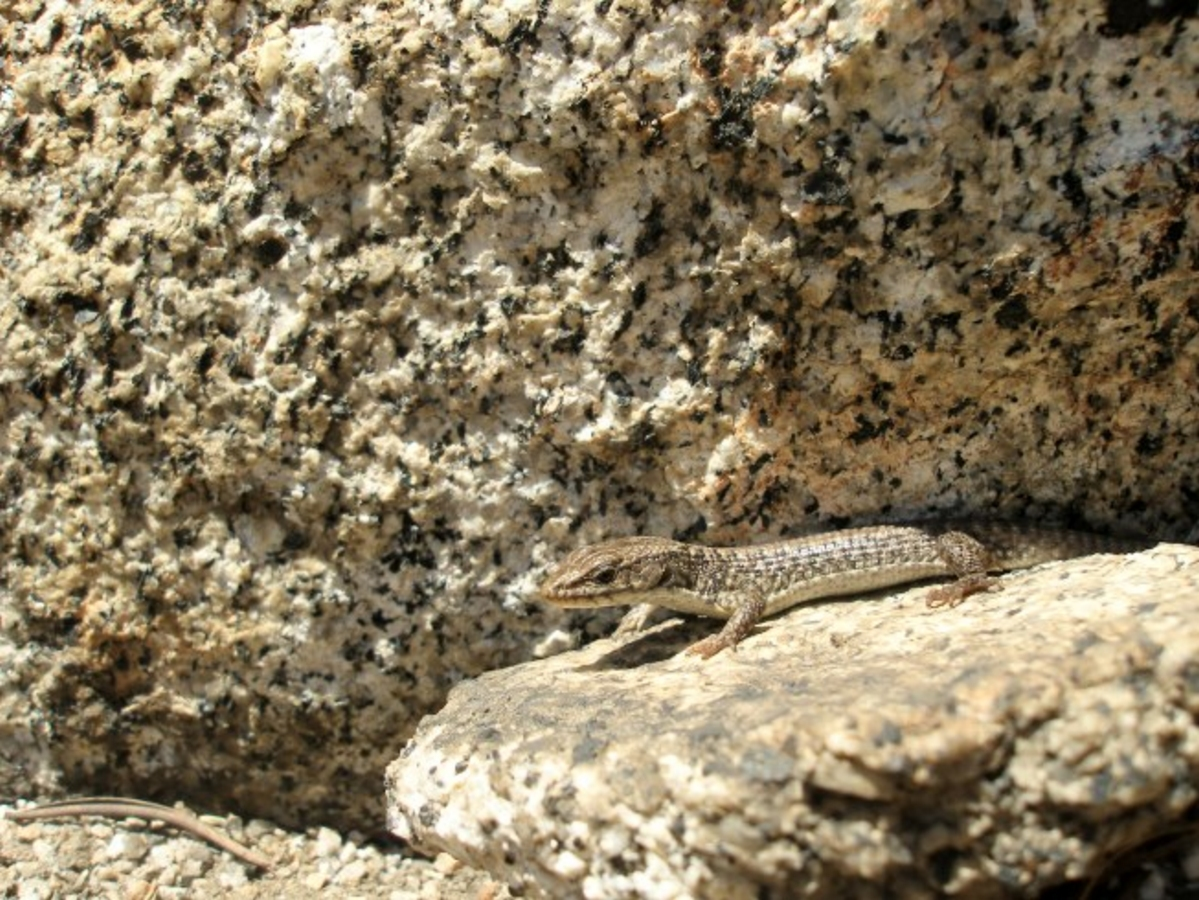 Alligator lizard