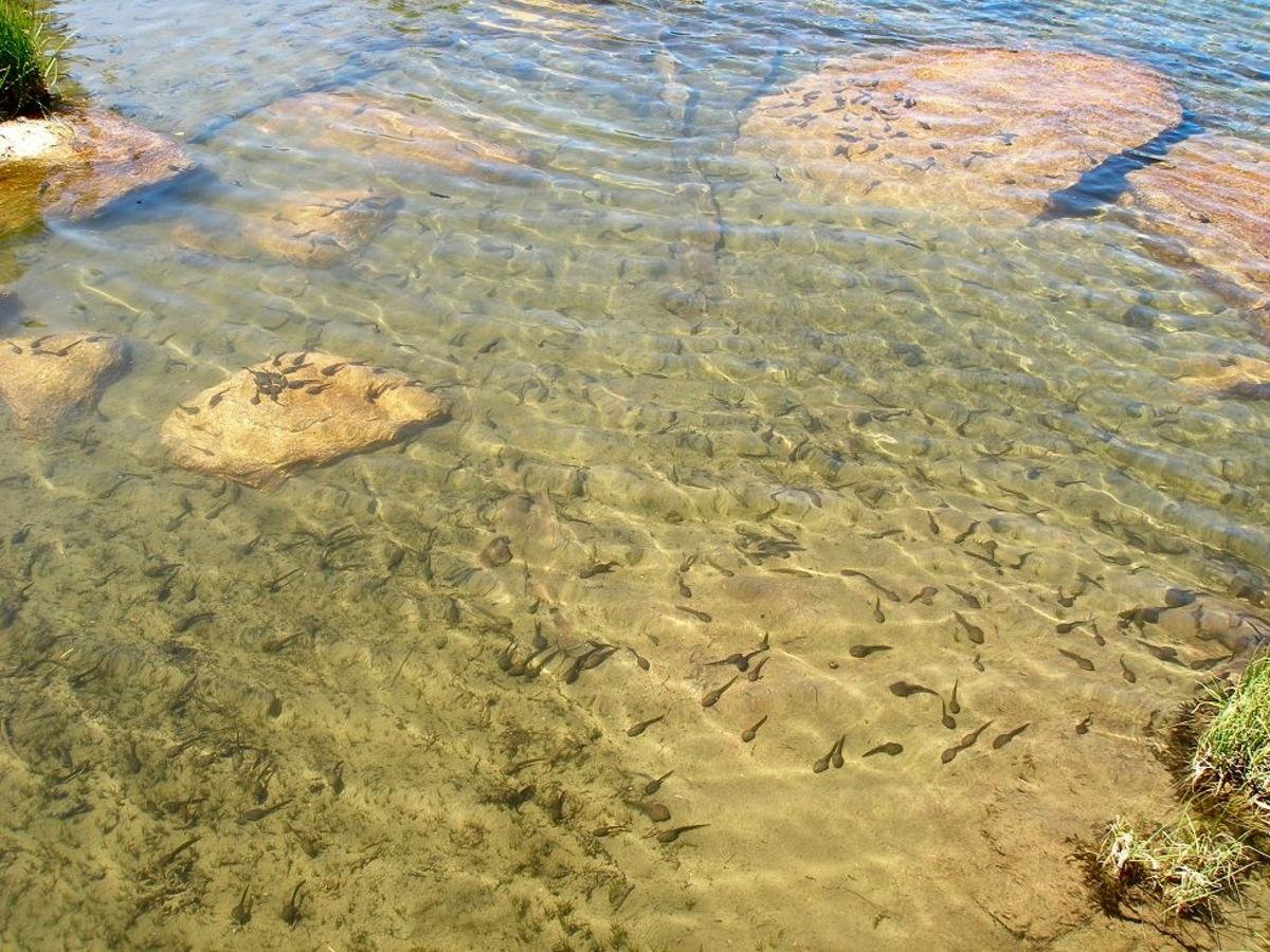 Rana sierra tadpoles