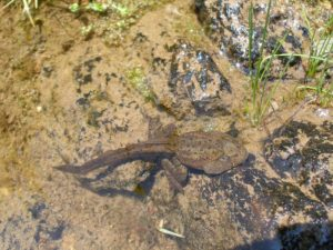 Yellow-legged frog tadpole