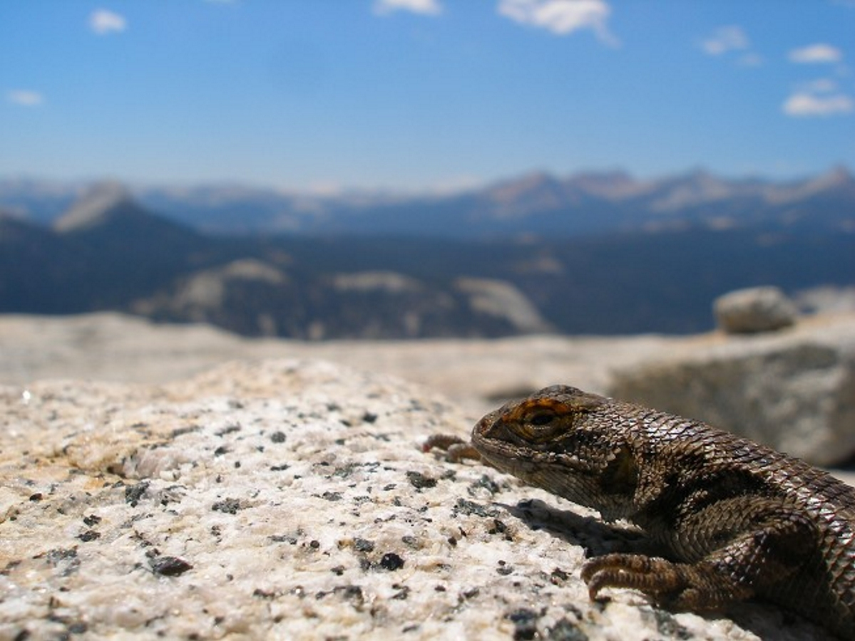Lizard on Half Dome