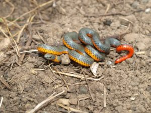 Ring-necked Snake around Pt. Reyes National Seashore