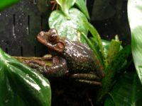 Rabb's Tree Frog
