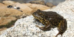 Sierra yellow-legged frog on rock