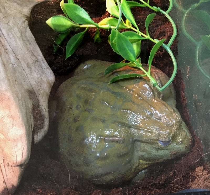 A large adult African bullfrog on a substrate of coco fiber