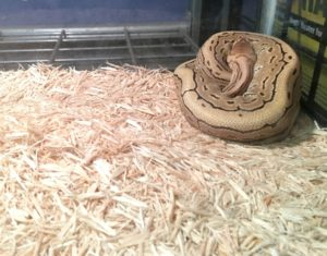 A ball python and aspen bedding