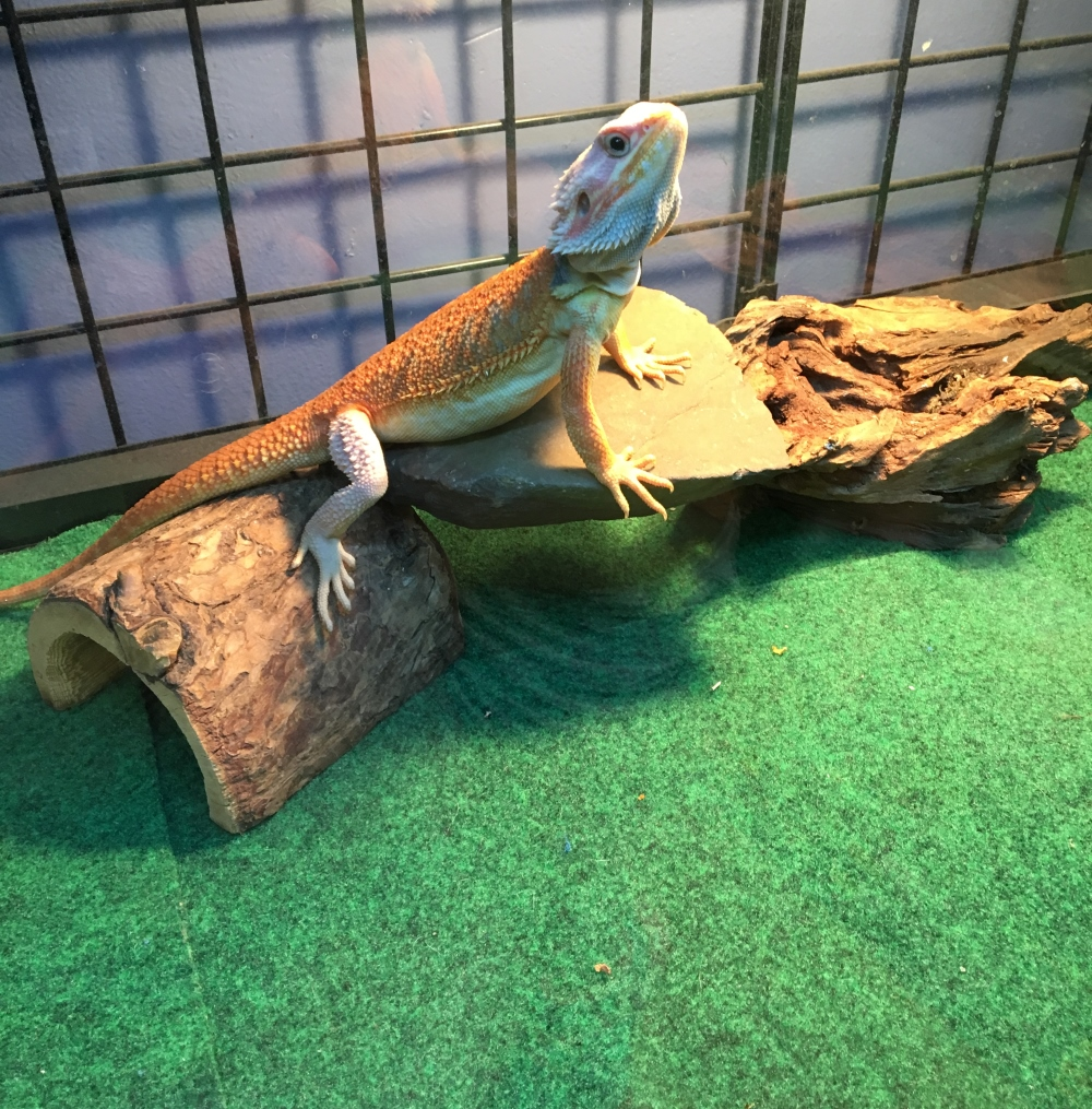 A bearded dragon basking over cage carpet for reptiles