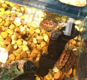 Turtles in an aquarium on a gravel substrate