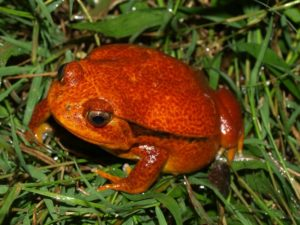 Tomato frog sitting in grass