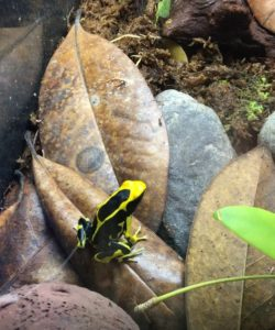 Dendrobates tinctorius on magnolia leaves in a terrarium